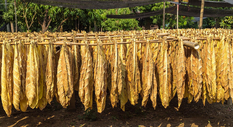 Tabakernte, Tabakblätter, Trocknen, Plantage